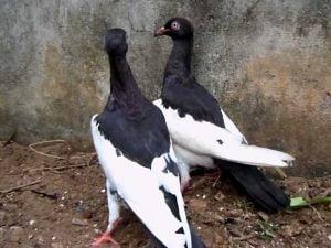 pigeons-magpie-black