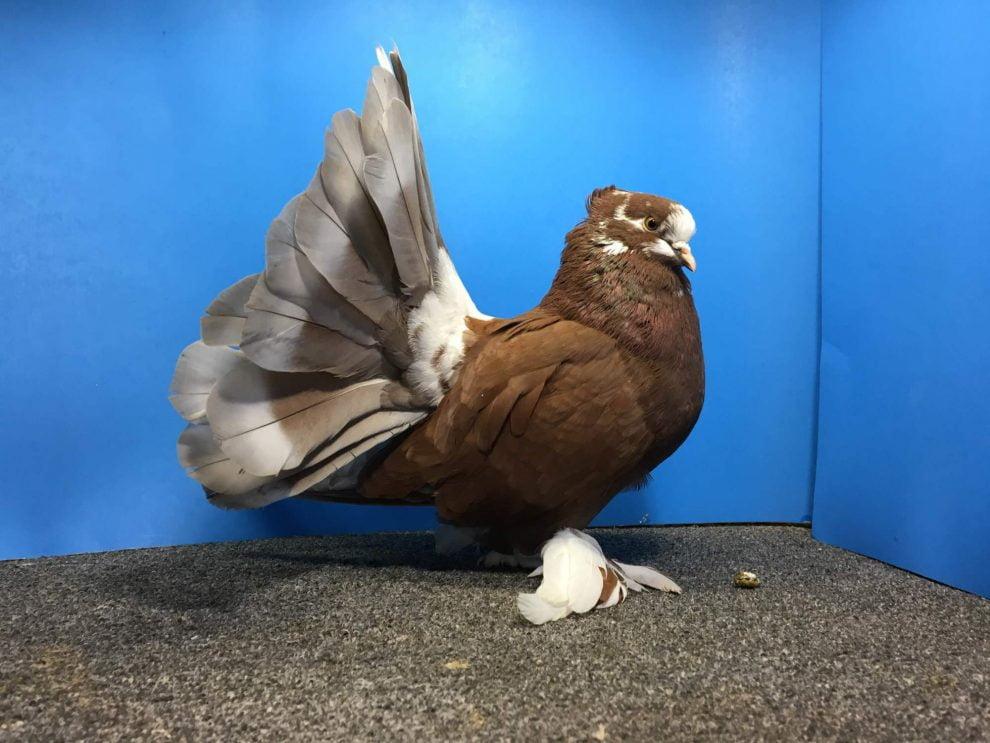 pigeon masakali