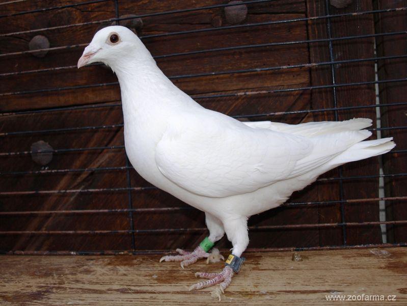 white - piheons - brieftauben