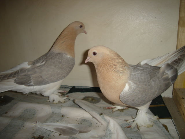 syrian pigeons