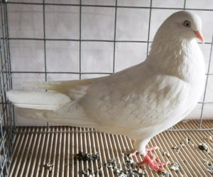 white-pigeons