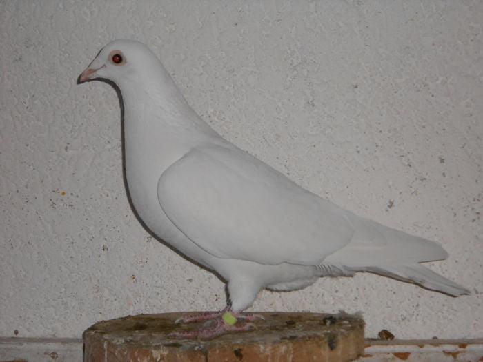 utility pigeons - homer -homing