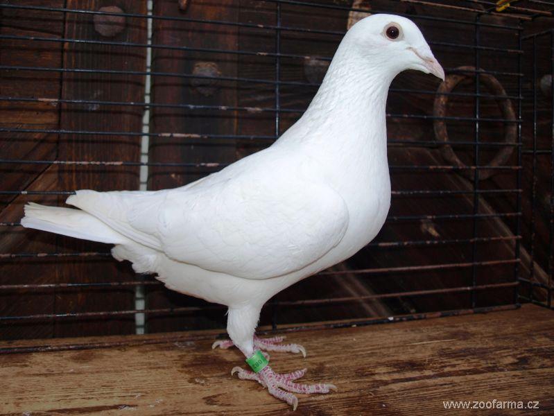 npa usa - homer pigeons - racer