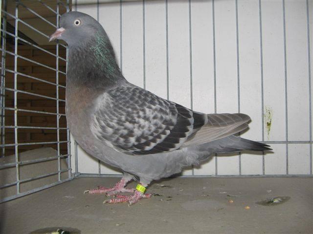 کبوتر شامی