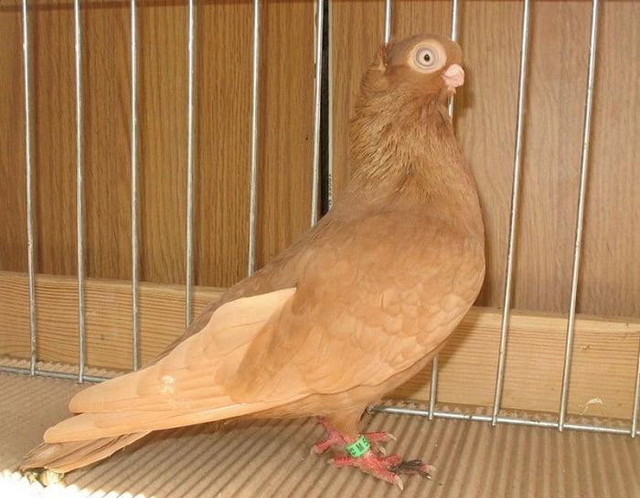 culbutant - pigeon japan