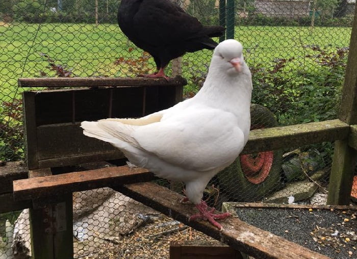 hagenaar duiven