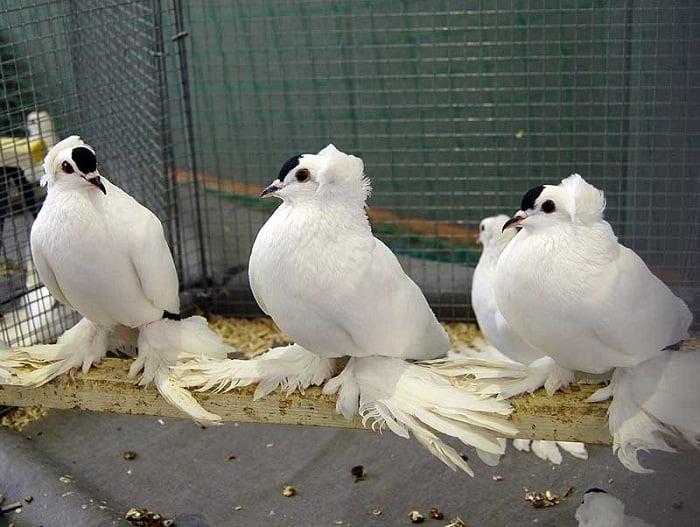 pigeons saxe