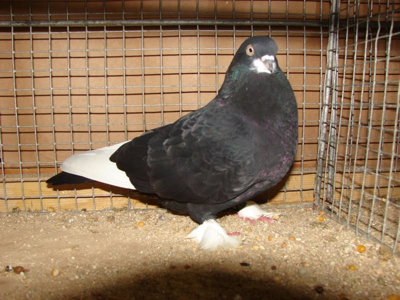 tumbler fancy pigeons