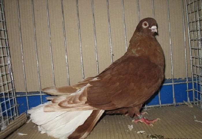 tumbler pigeons - polish