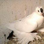 saxon opigeons - german pigeons
