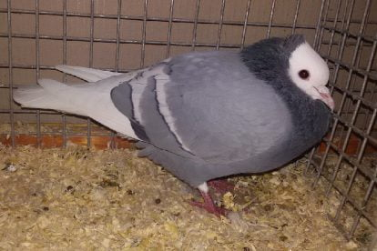colour german pigeons