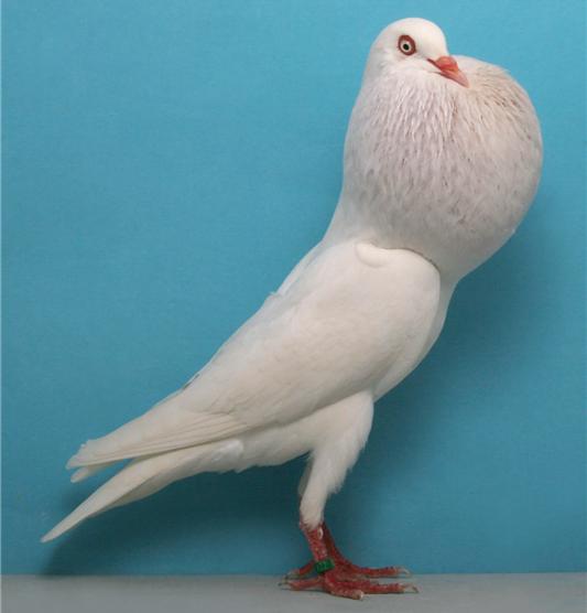 pigeon - pouter