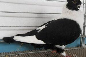 domino pigeons