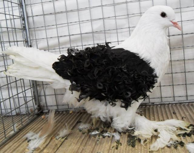 pigeons structure - pigeon frisé