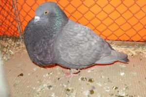 pigeons boulant