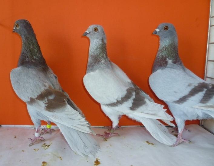 tumbler pigeons - bratislava