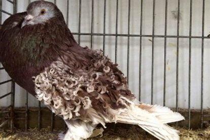 netherland pigeons - brown kabootar