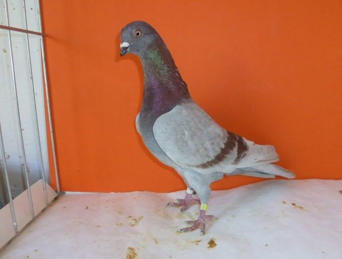 pigeons Haut Volant