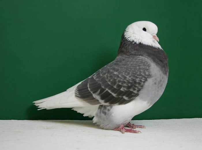 americanm pigeons - roller