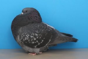 roller pigeons - show roller - american pigeons