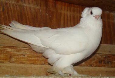 american pigeons breeds - tumbler pigeons