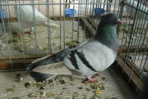 tumbler pigeons - hungarian