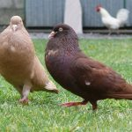 pouter pigeons - colorful pigeons