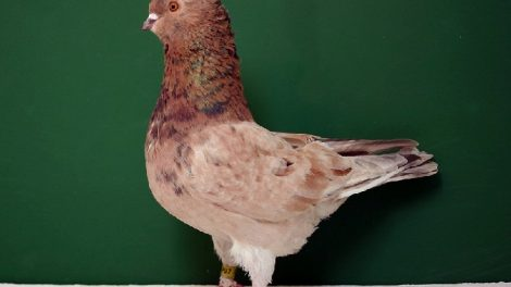crested pigeons - american - hen