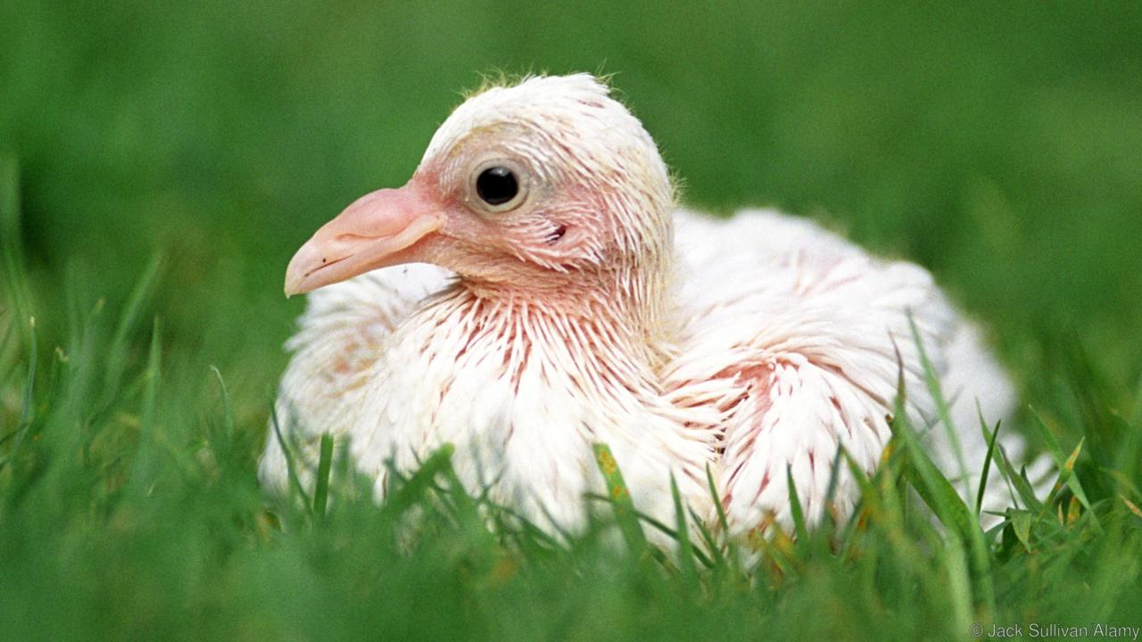 pigeon milk dove
