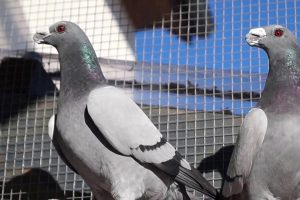 dragon- wattle pigeons