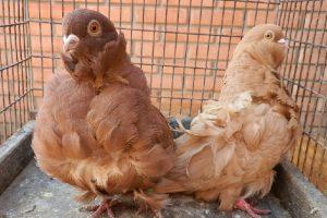 group name pigeons -owl