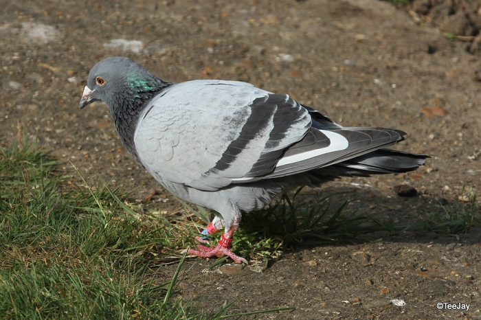 street pigeons - homing pigeons