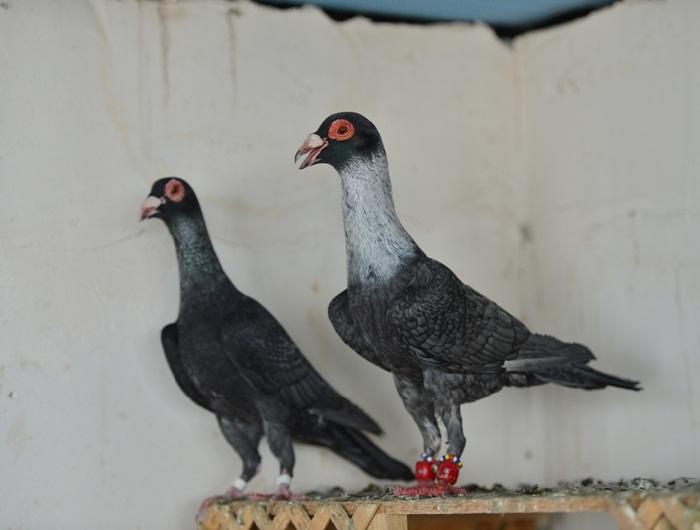 ispir pigeons