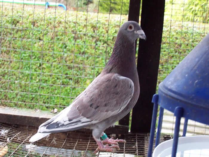 pigeons dove - homer - racer