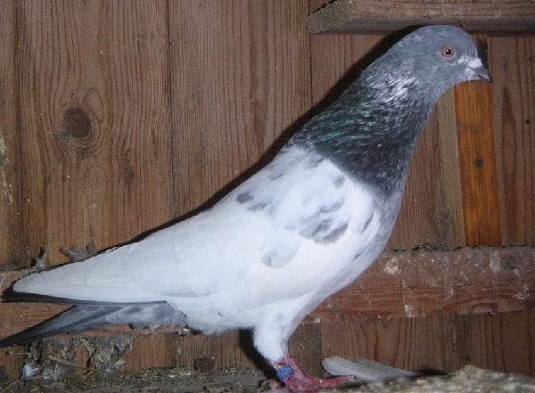 pigeons - highflyer
