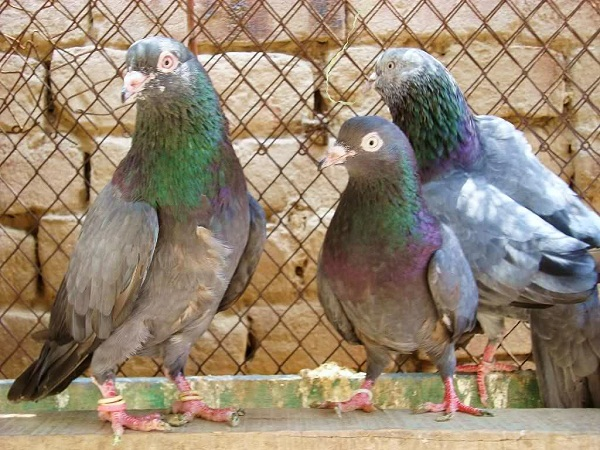 indian pigeons- pigeons names