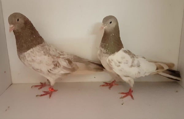 khatang pigeon