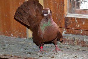 tumbler pigeons - bulgarian