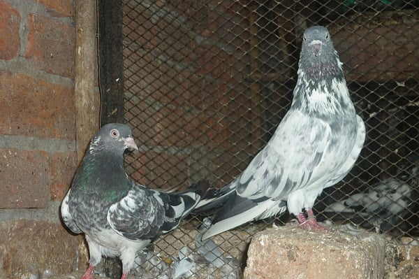 white and grey pigeon