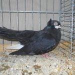 black pigeons - tumbler pigeons