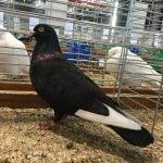 black white - tumbler pigeons