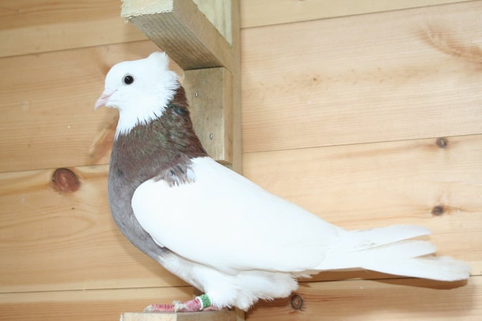 iran tumbler - pigeons - bird