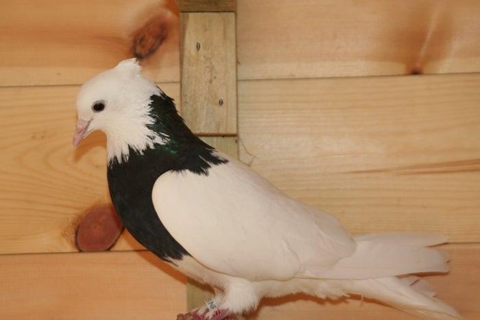 tumbler bird - iranian breeds