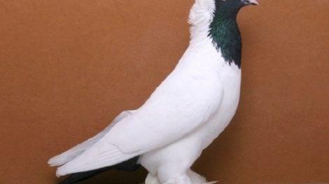 color pigeons - kabootar