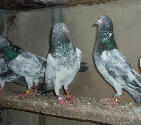 picyures of pigeons