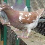 mouleman pigeons