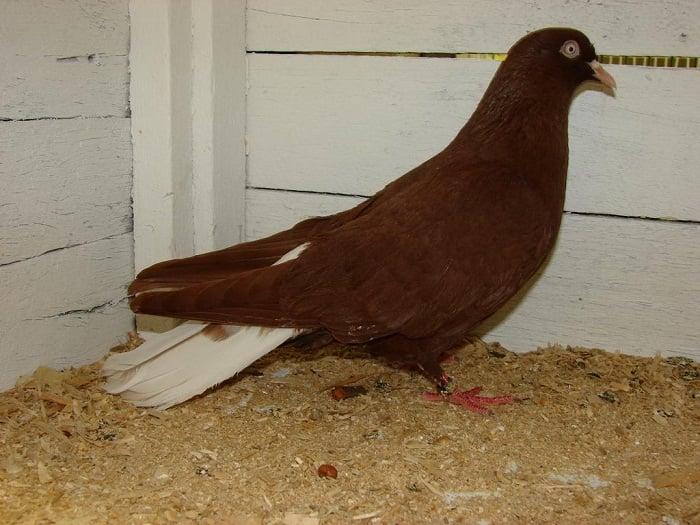 pigeons pictures - dunek