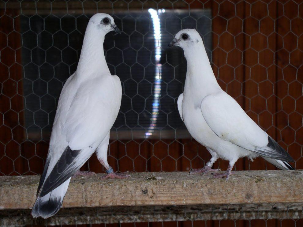 wikipedia pigeons - pigeon wiki