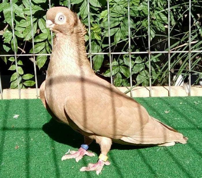 Culbutant - pigeons - jaune
