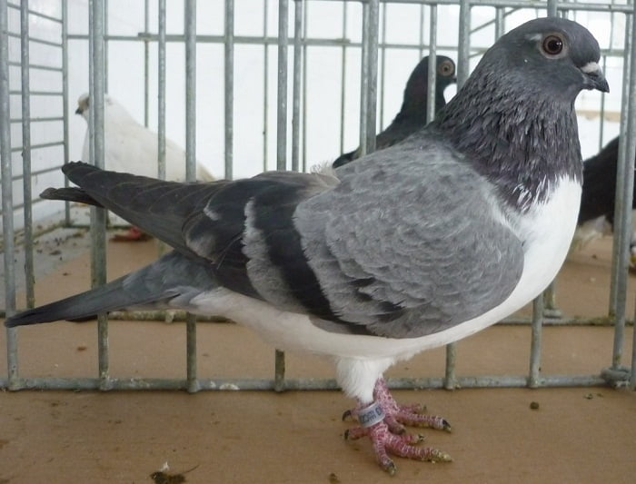 czech tumbler pigeons